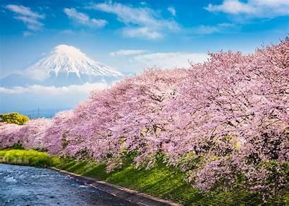 Cherry Japan Blossom Blossoms Season