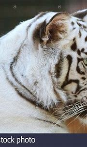 Side view portrait of a white tiger Stock Photo: 109094064 ...