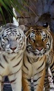 So then why are some Bengal tigers white, while most are ...