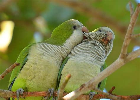 quaker bird quaker parrot as pets species profile