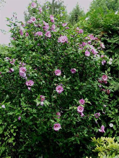 arbusti da fiore sempreverdi arbusti da fiore piante ornamentali le loro fioriture