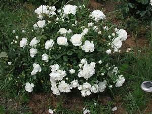 Rosier Grimpant Blanc : rosier blanc ~ Premium-room.com Idées de Décoration