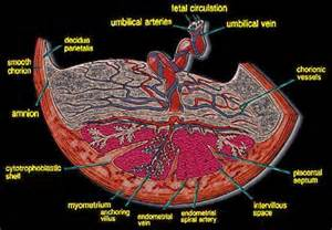 Placenta Anatomy Diagram