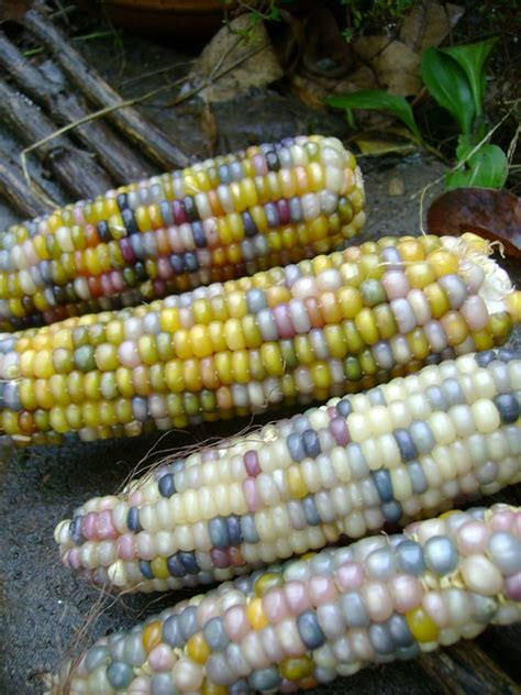 glass gem sweet corn 1000 images about indian corn on pinterest