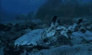 angel shark vs. horn shark