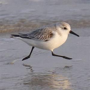 Sandpiper Running On Sea Shore