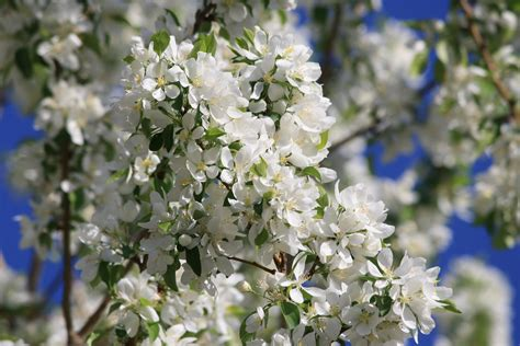 trees with white flowers tree white flowers 28 images white flowering tree