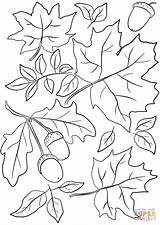 Coloring Leaves Autumn Pages Acorns Printable Paper Drawing sketch template