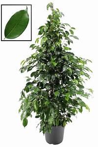 Ficus Benjamini Vermehren : ficus danielle een extra volle plant florastore ~ Lizthompson.info Haus und Dekorationen