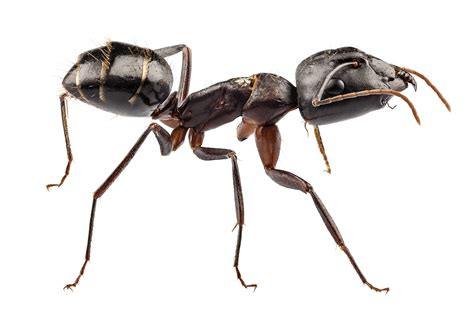 ant infestations insect extermination long island pest