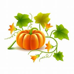 Pumpkin  Growing Pumpkin From Roots Underground Stock Vector