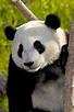 Giant Panda | San Diego Zoo Animals & Plants