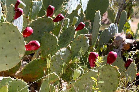 cactus pear pricklypear 1 9 10 2012 jpg