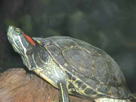 eared turtle kennerson blog red eared slider