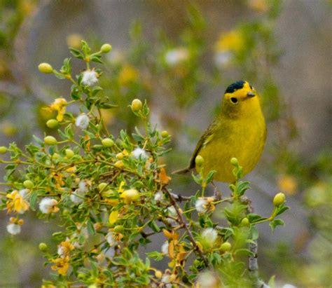 yellow finch like bird seen in joshua tree anyone know
