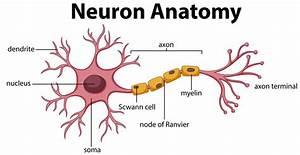 Diagram Of Neuron Anatomy