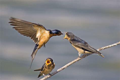 Barn Swallow (hirundo Rustica