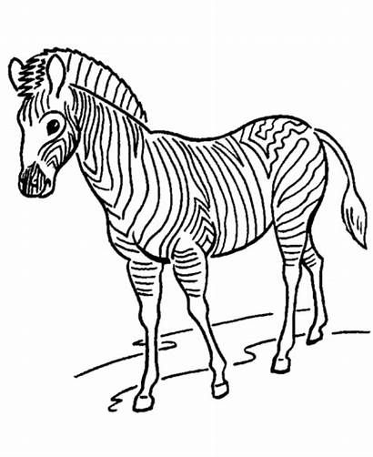 Zoo Coloring Animals Pages Zebra