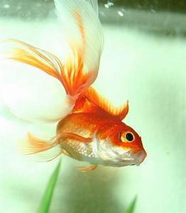 Fantail Goldfish Tips and Characteristics