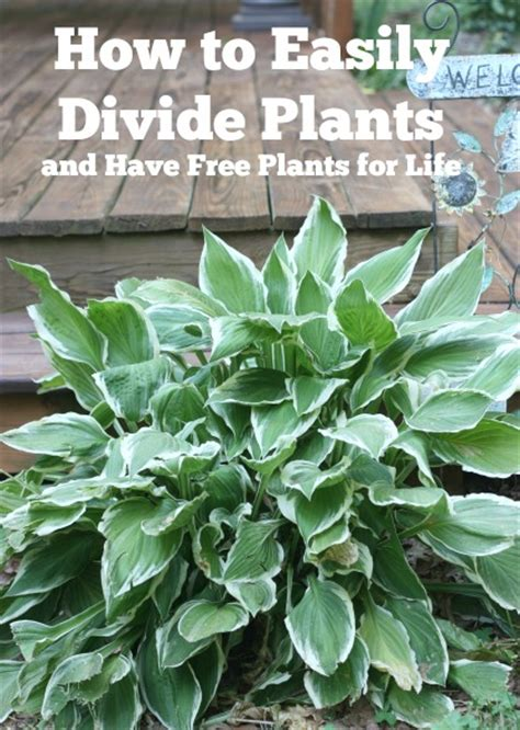 how to divide daylilies easily divide hosta and daylilies and have free plants for life balancing beauty and bedlam