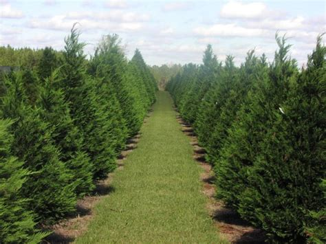 10 magical christmas tree farms to visit in tennessee this