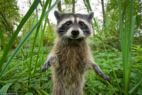 wild tail raccoons wildlife wales they raccoon bushy zoo animal native rings britain grey bandit london scottish germany then north
