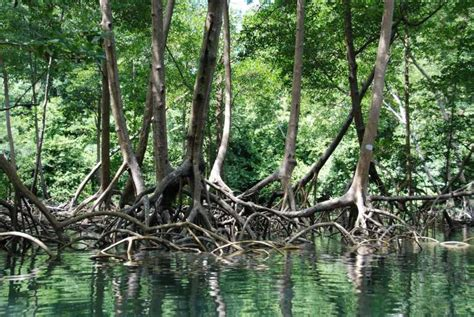 Mangrove forests going missing to feed us fish - Science