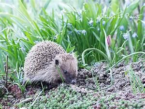 Igel Im Garten : igel im garten staunen freuen und hoffen dass er bleibt ~ Lizthompson.info Haus und Dekorationen