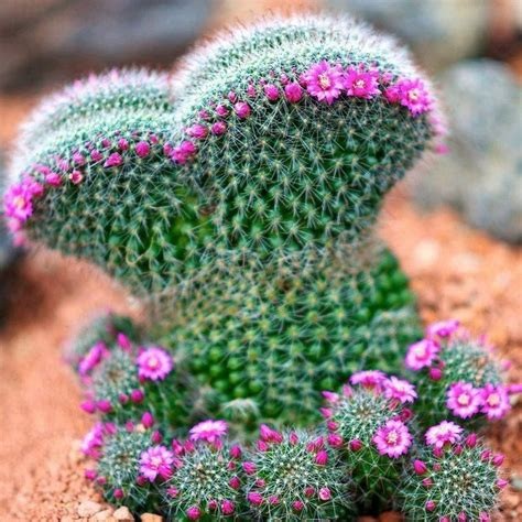 crested cactus plants succulents caudiciforms
