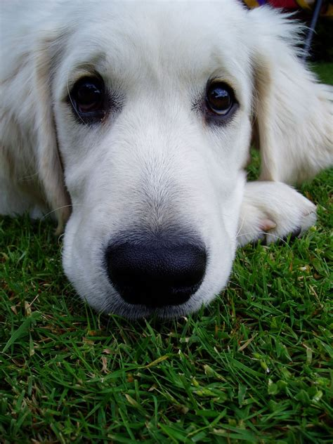 white golden retriever puppy stock photo freeimagescom