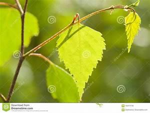 Branche De Bouleau : belle jeune branche de bouleau de ressort photo stock ~ Melissatoandfro.com Idées de Décoration