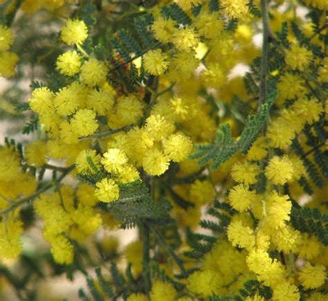 acacia cardiophylla wikispecies