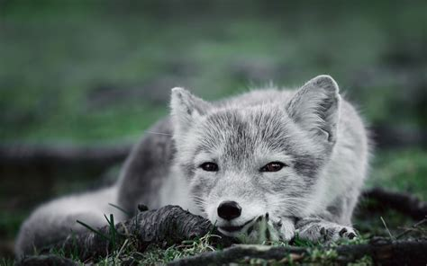 arctic fox full hd wallpaper  background image