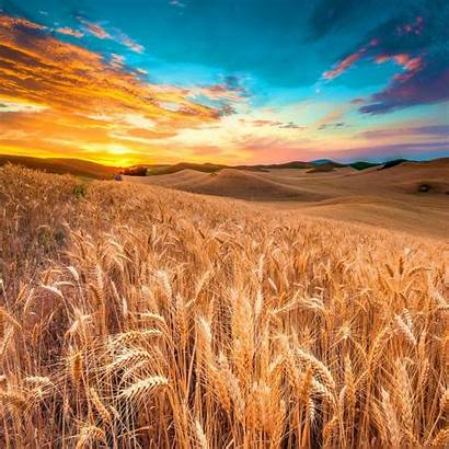 Harvest Meadow Wheat Ipad Air Wallpapers Backgrounds
