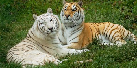 isle wight zoo naruto queen felines zena fanfic chapter blind bli reddet tigeren fra den tv2 31t19 admin wattpad