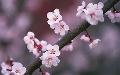 Cherry Blossoms Japan Sakura Flowers Blossom Japanese