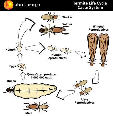 Control Ants In Kitchen by Termite Species And Termite Control By Planet Orange