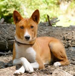 basenji breed information pet365