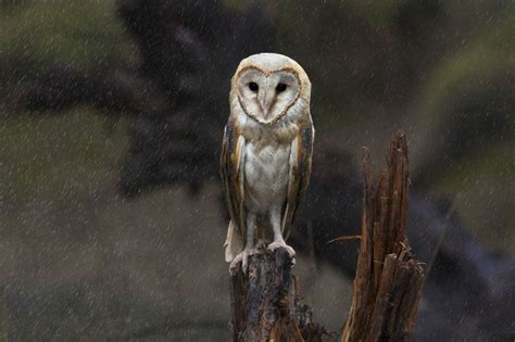 Unbelievable Facts About Barn Owls That'll Make Your Head Spin