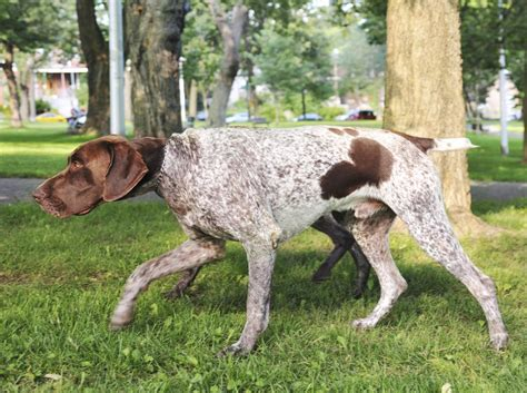 german shorthaired pointer shedding hypoallergenic dogs