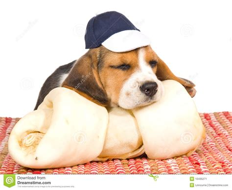 cute beagle puppy  huge bone stock image image