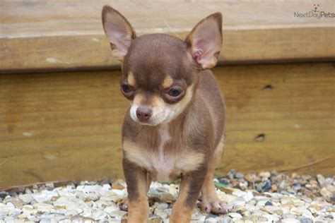 meet pixie  cute chihuahua puppy  sale   pixie