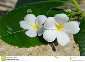 Comment Creuser Un Tronc D Arbre : le plumeria frangipani fleurit sur un tronc d 39 arbre photo stock image 64662860 ~ Melissatoandfro.com Idées de Décoration