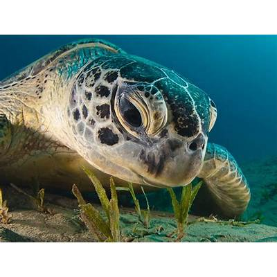 Green Sea Turtle Picture -- Underwater Wallpaper