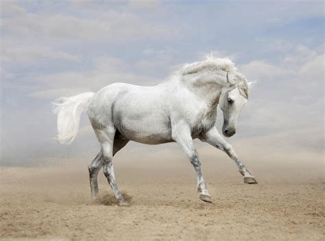 andalusian horse gray desert stallion galloping preview