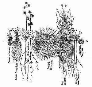 Compared to the roots of the non-native, smooth brome (far ...