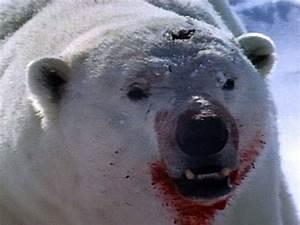 Polar Bear Attacks Ring Seal