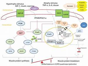Summary Of Pathways Controlling Muscle Protein Synthesis