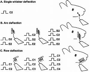 Whisker Stimulation Paradigm  A Wire Extension Ending In
