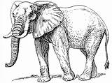 Elephant Coloring Pages Printable Drawing Drawings Realistic Animals Cartoon Clip Line sketch template